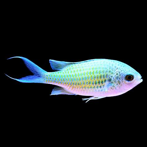 Green chromis petco for Types of betta fish petco