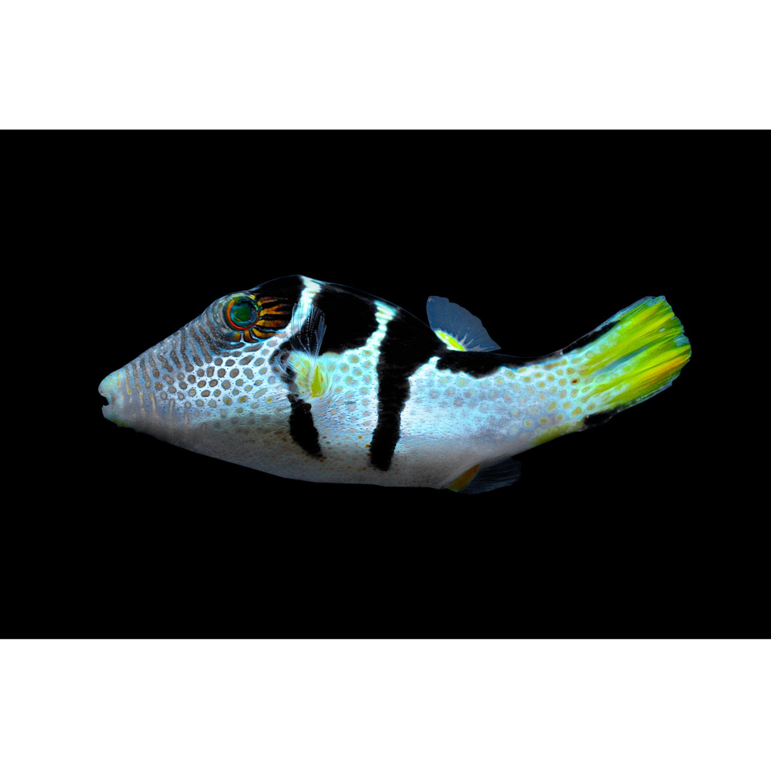 Valentini puffer petco for Puffer fish price