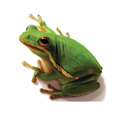 cfea3452942a Green Tree Frog (Hyla cinerea)