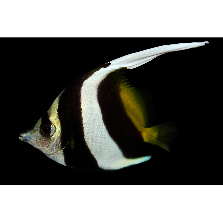 Black white heniochus petco for Petco saltwater fish