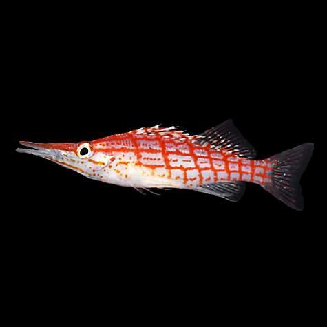 Hawkfish | Longnose Hawkfish Petco