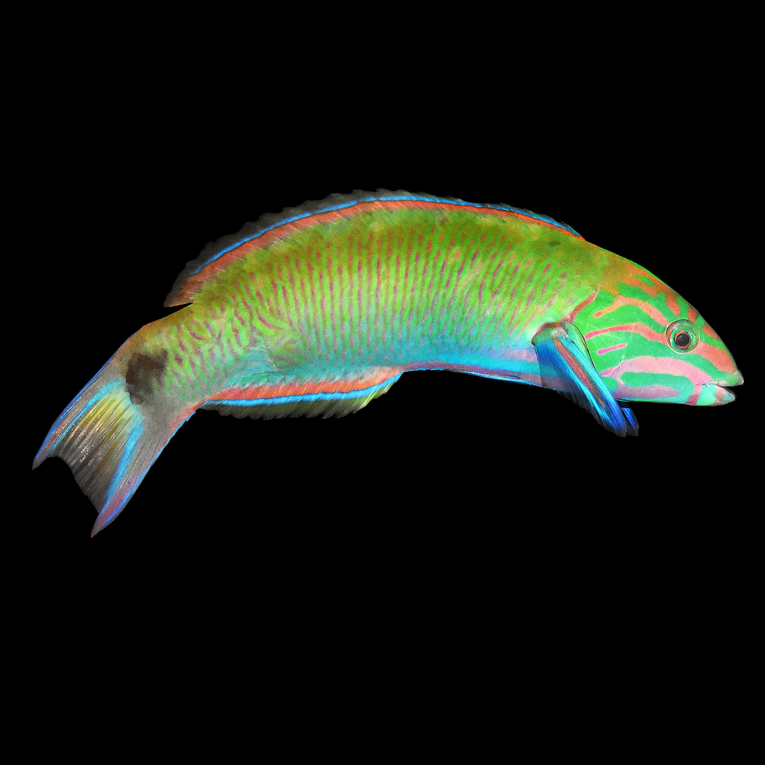 Lunare Wrasse Small Medium