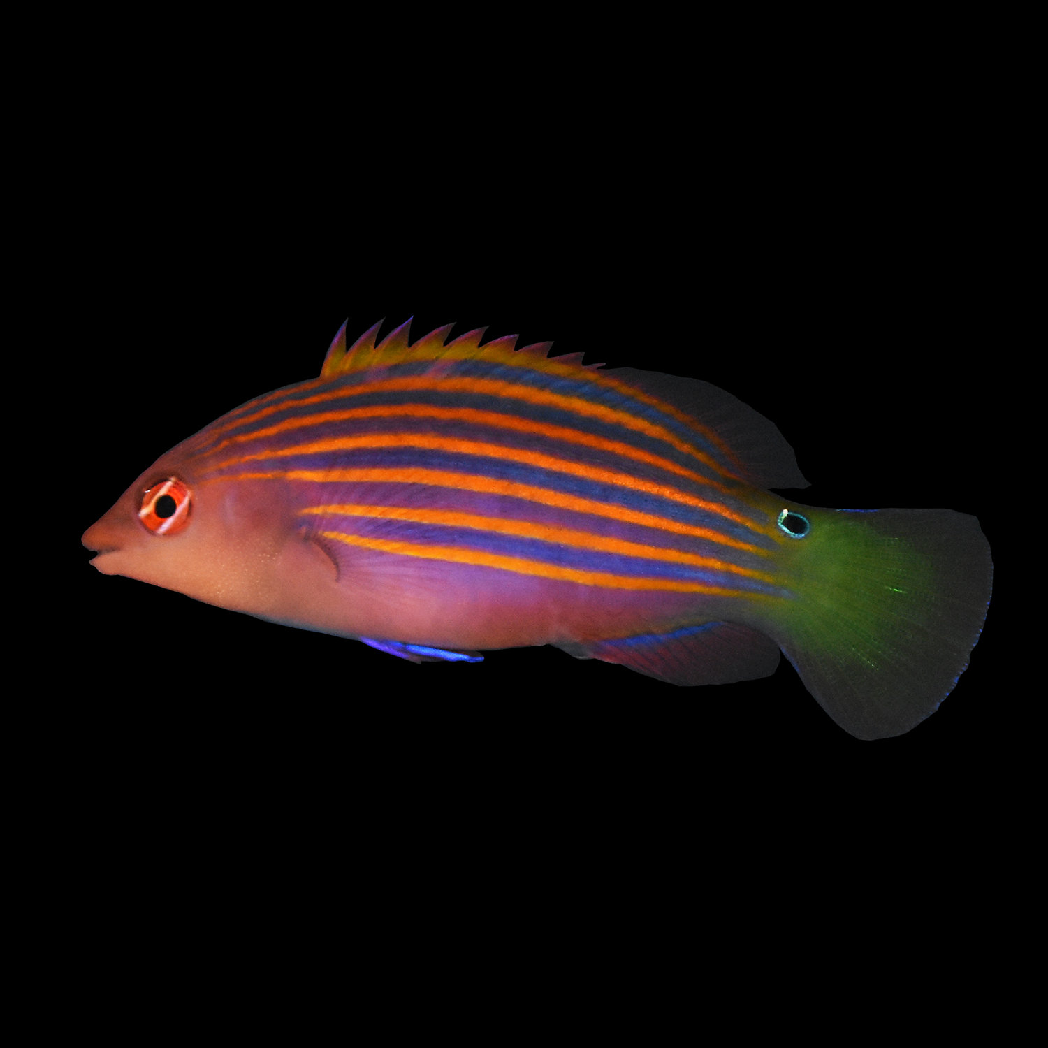 Six Line Wrasse X Small