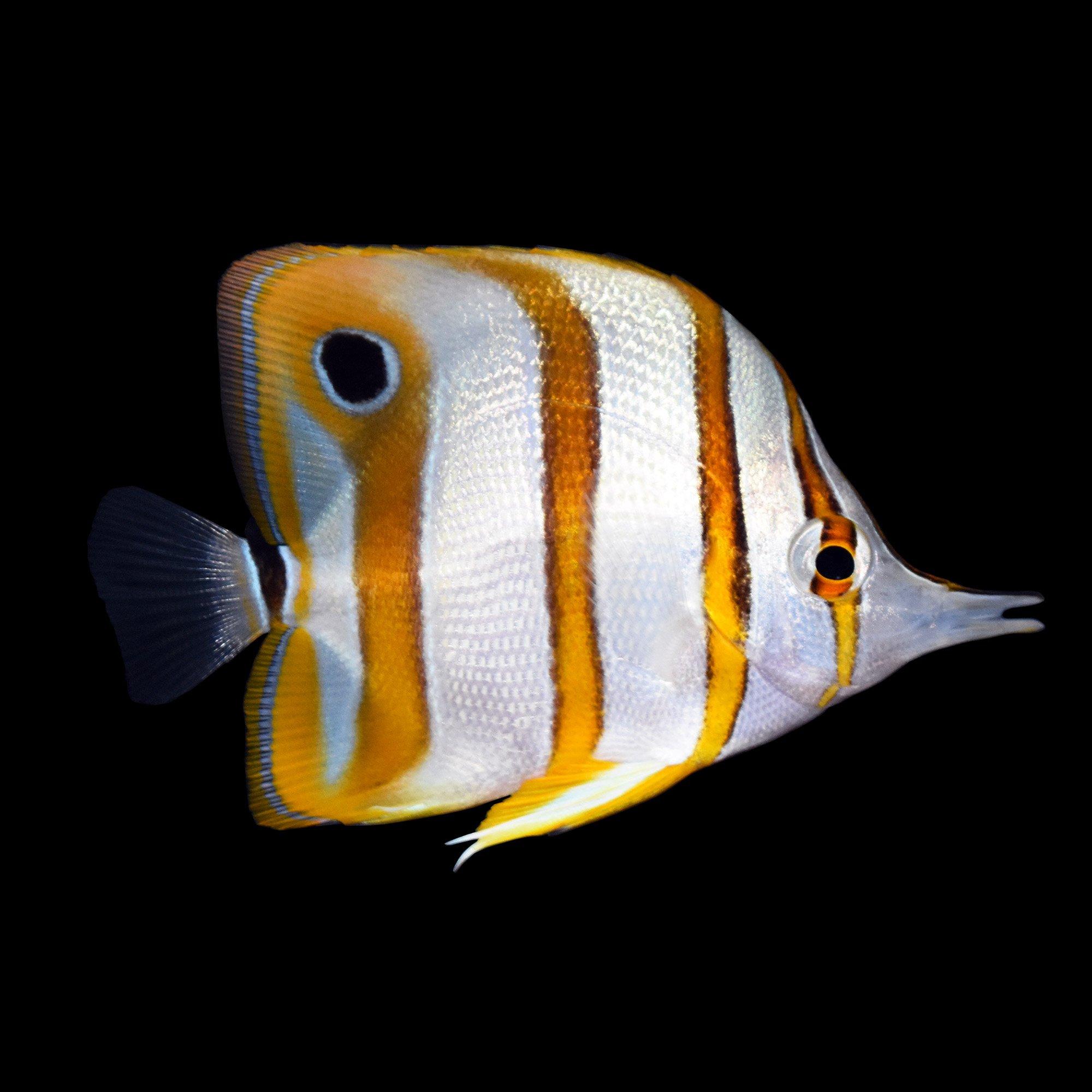 Copperband butterfly copperband butterfly fish petco for Petco fish prices