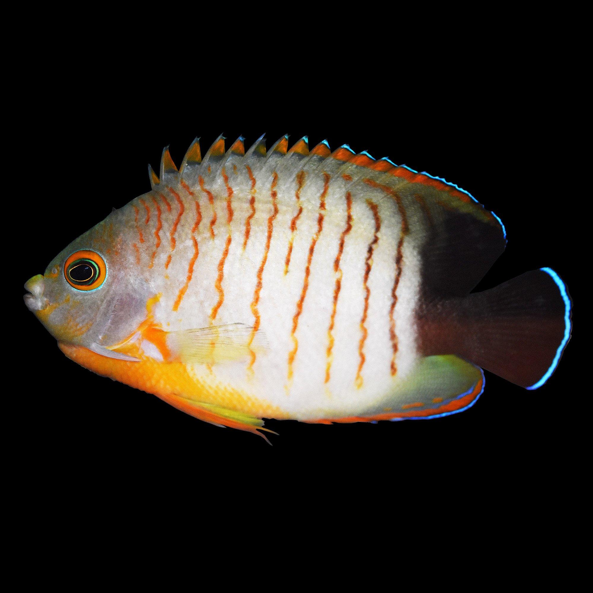 Pygmy Angelfish Eibli Angel Petco