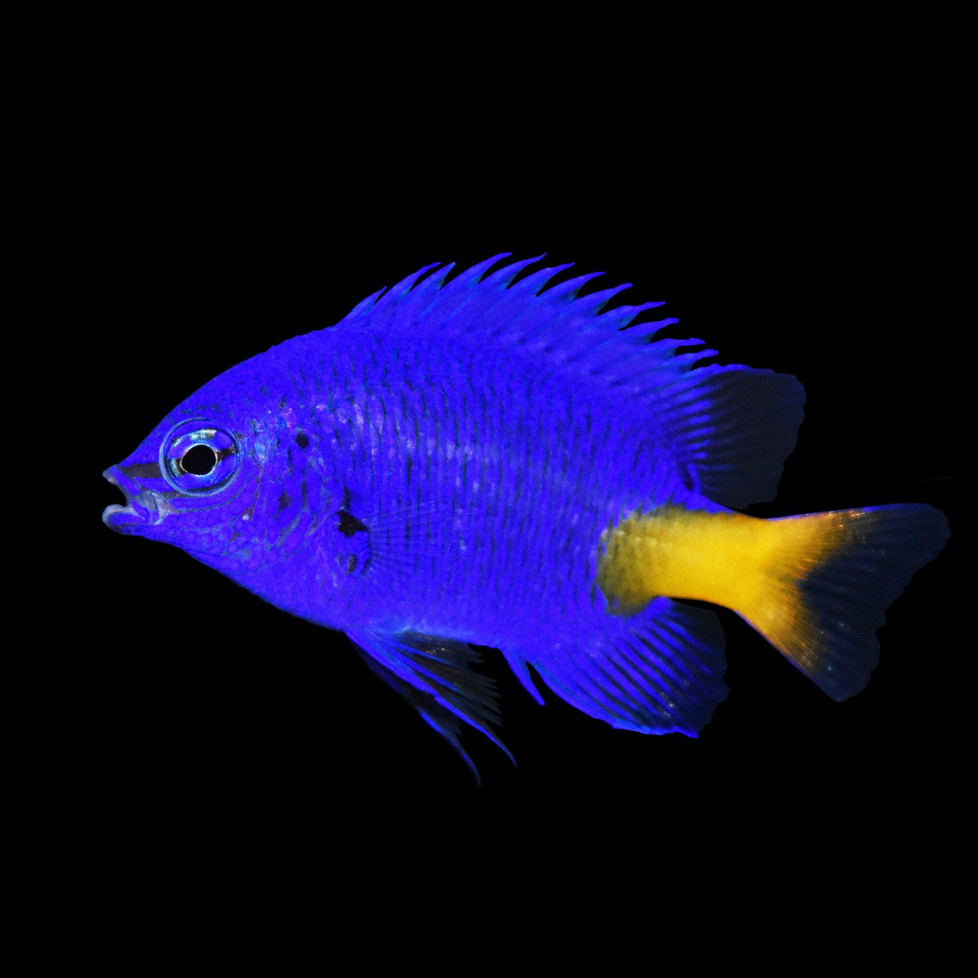 Fish for saltwater aquarium - Yellowtail Blue Damsel