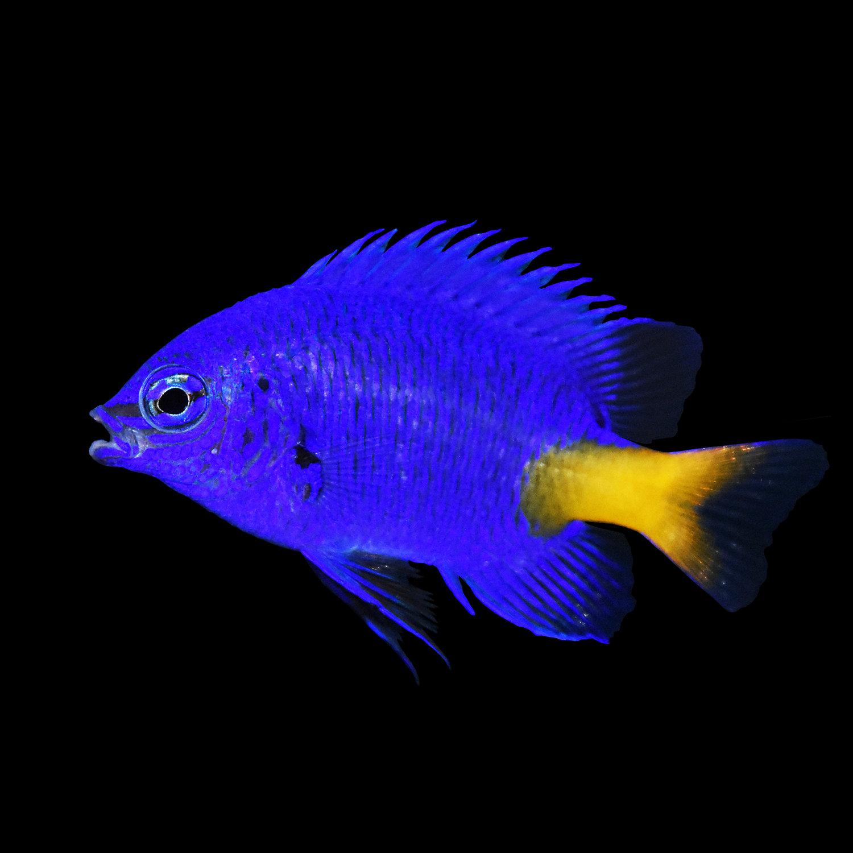 Yellowtail Blue Damsel X Small