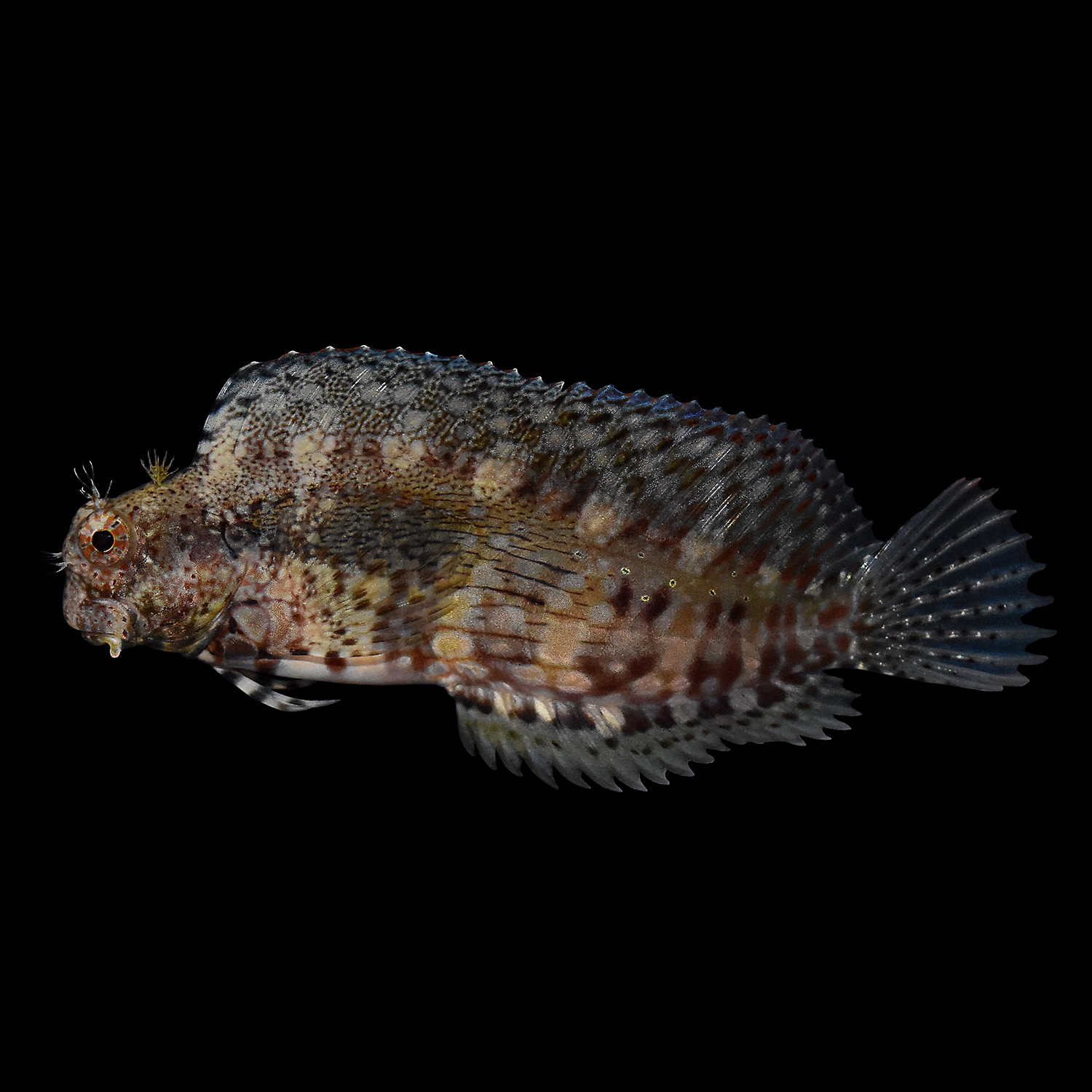 Lawnmower Blenny Small