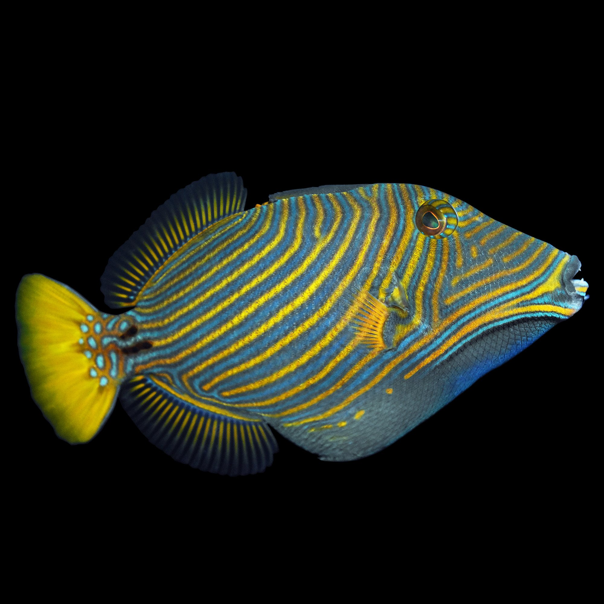 undulated trigger orange lined triggerfish small petco