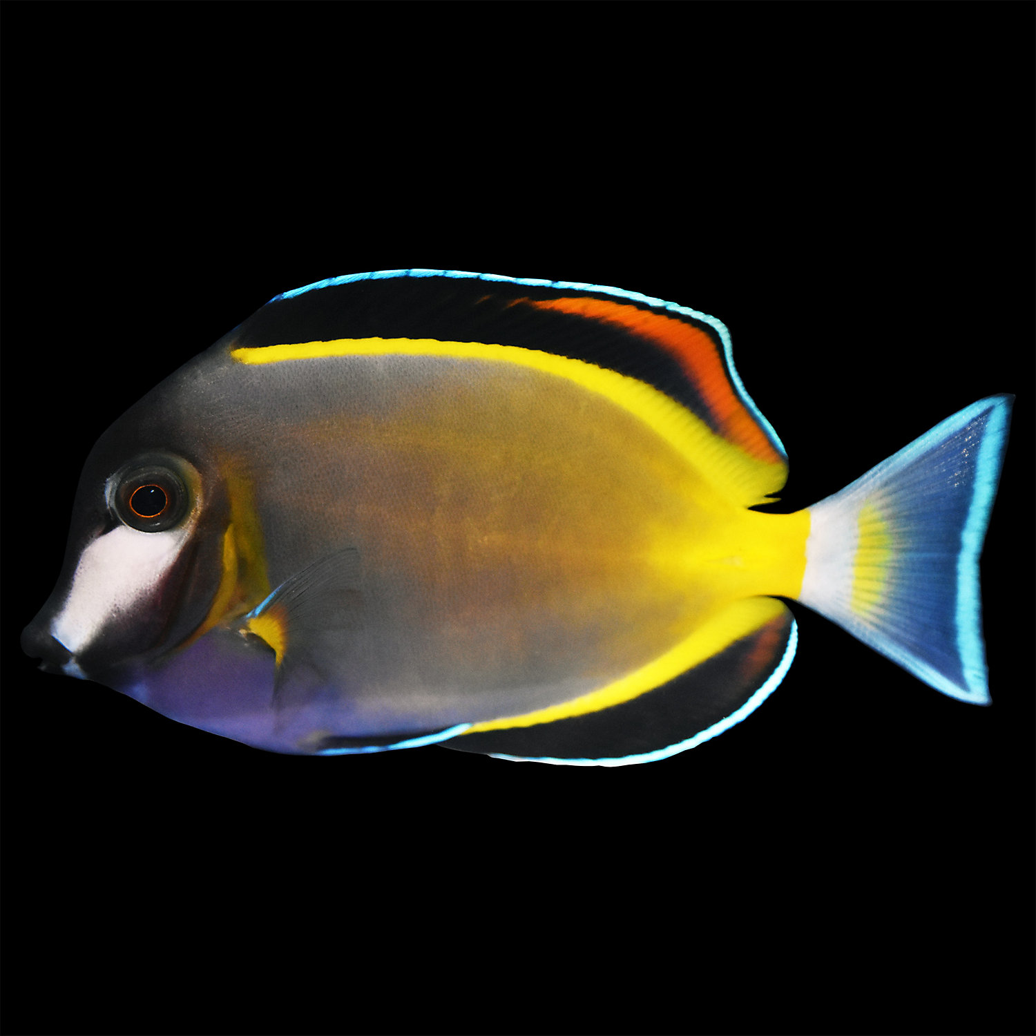 Live fish marine fish surgeonfish tangs pet for Petco live fish