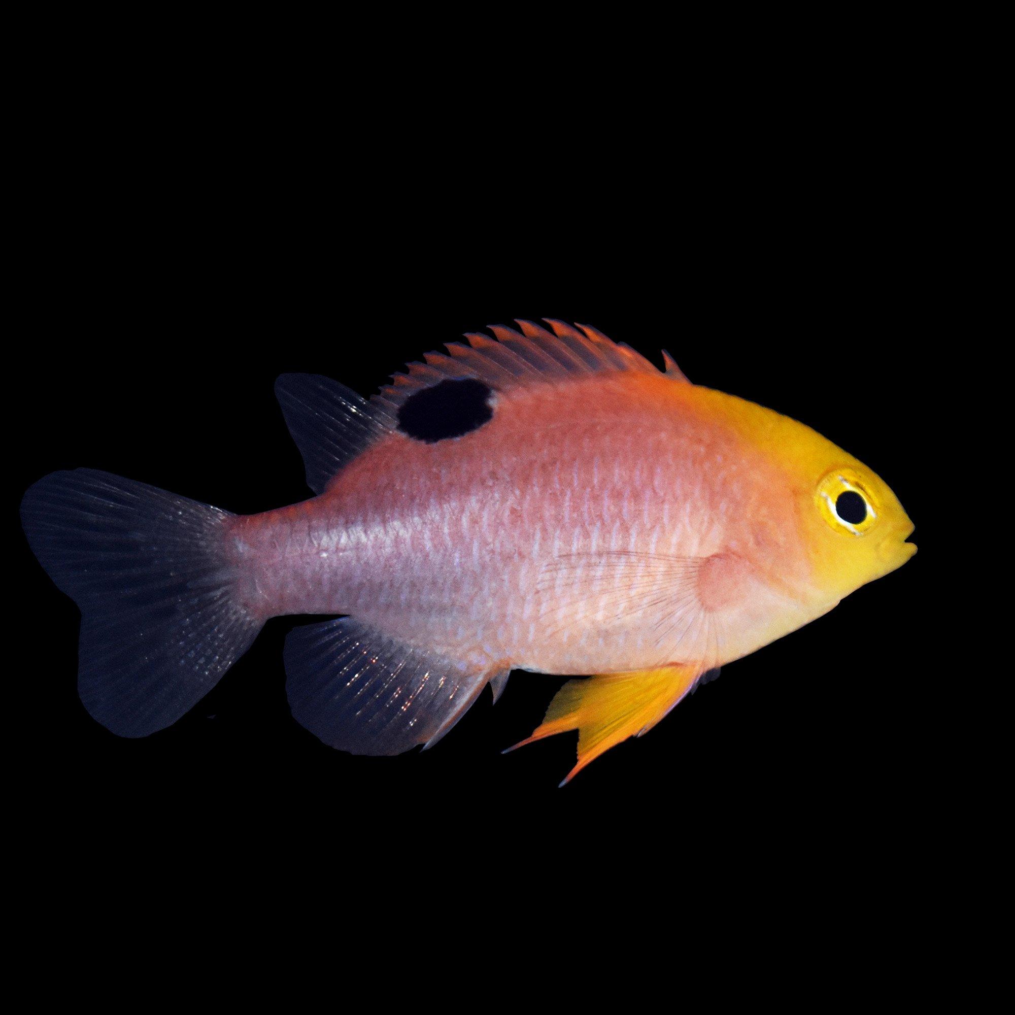 live saltwater u0026 marine aquarium fish petco
