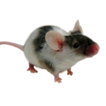 Can Rats Have Wet Dog Food