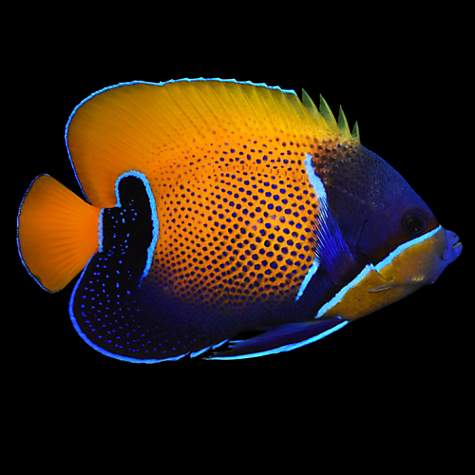 Majestic angel blue girdled angelfish small petco for Petco saltwater fish
