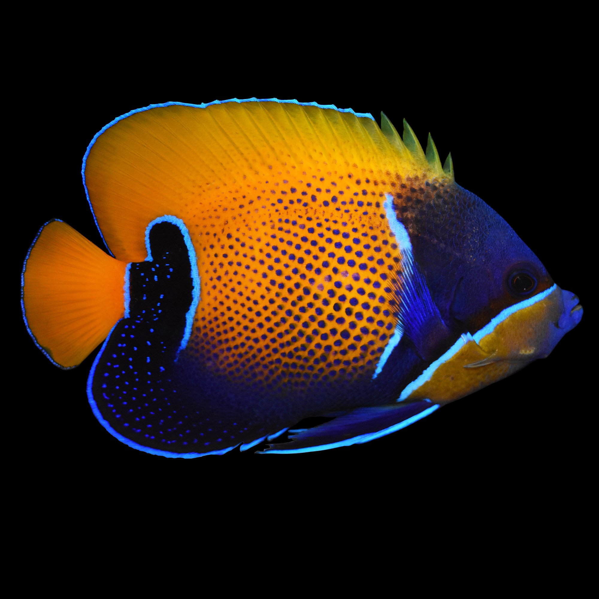 Majestic Angel Blue Girdled Angelfish Small Petco