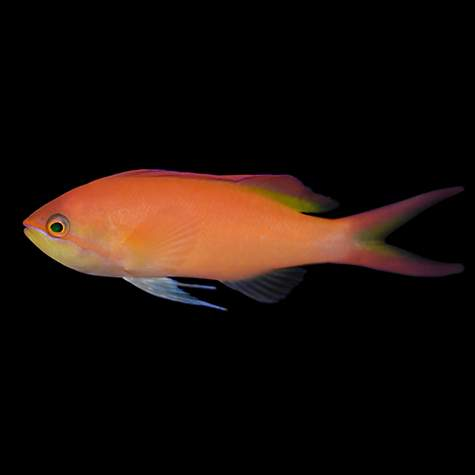 Female dispar anthias petco for Petco live fish