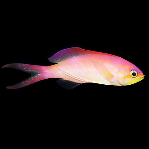 Male ignitus anthias petco for Petco saltwater fish