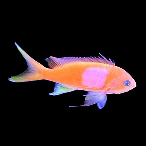 Male squareback anthias petco for Petco live fish