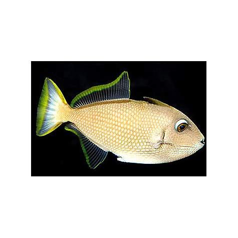 Male bluejaw trigger petco for Petco fish prices