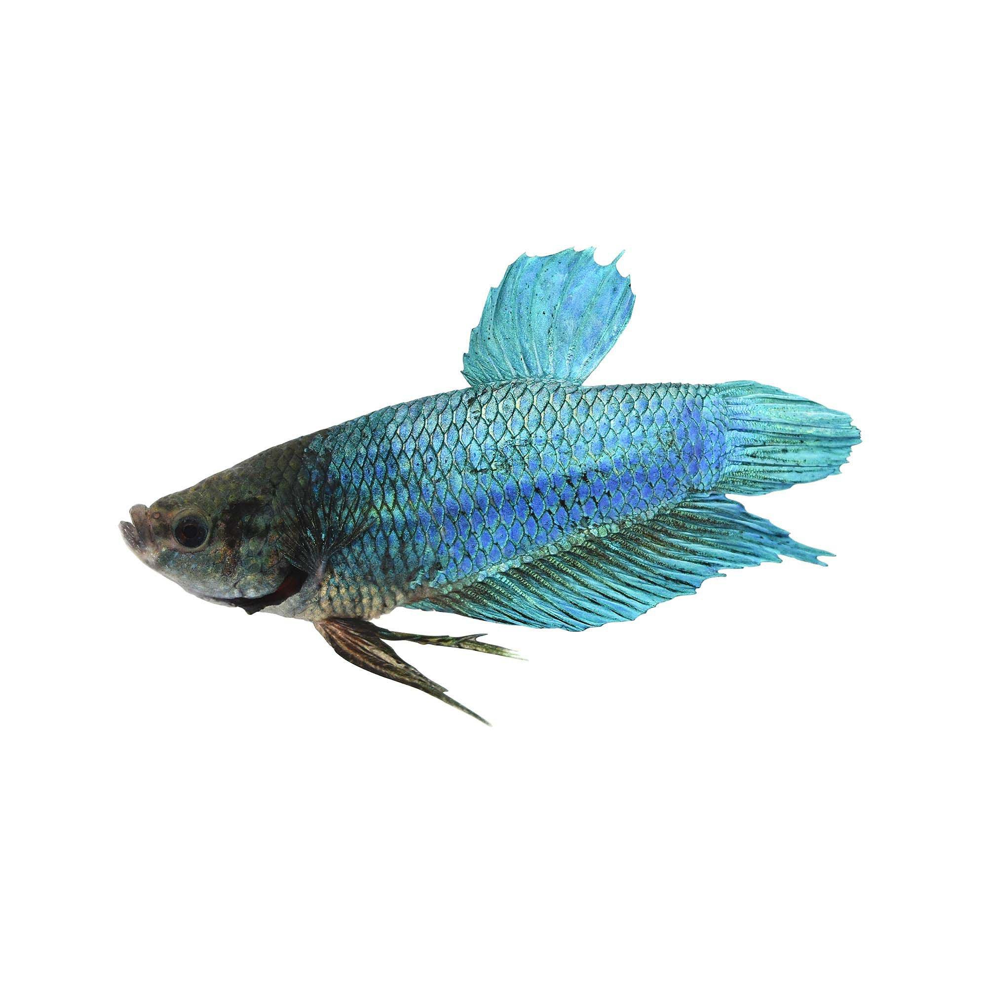 Male Halfmoon King Betta Fish Petco