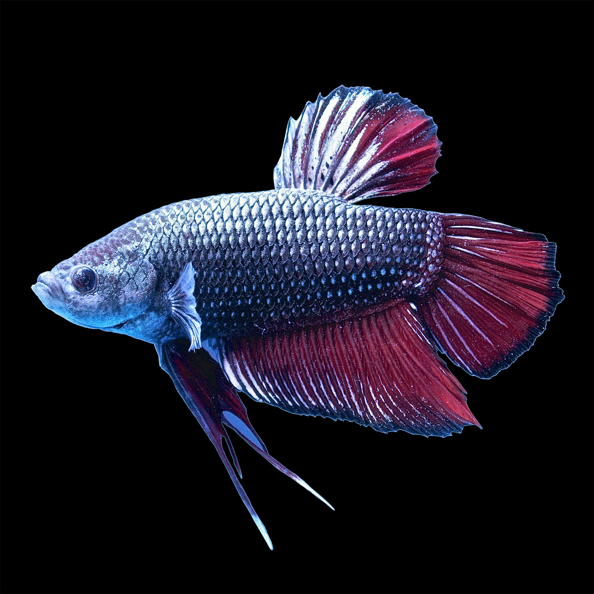 Male halfmoon king betta fish petco for Betta fish for sale online