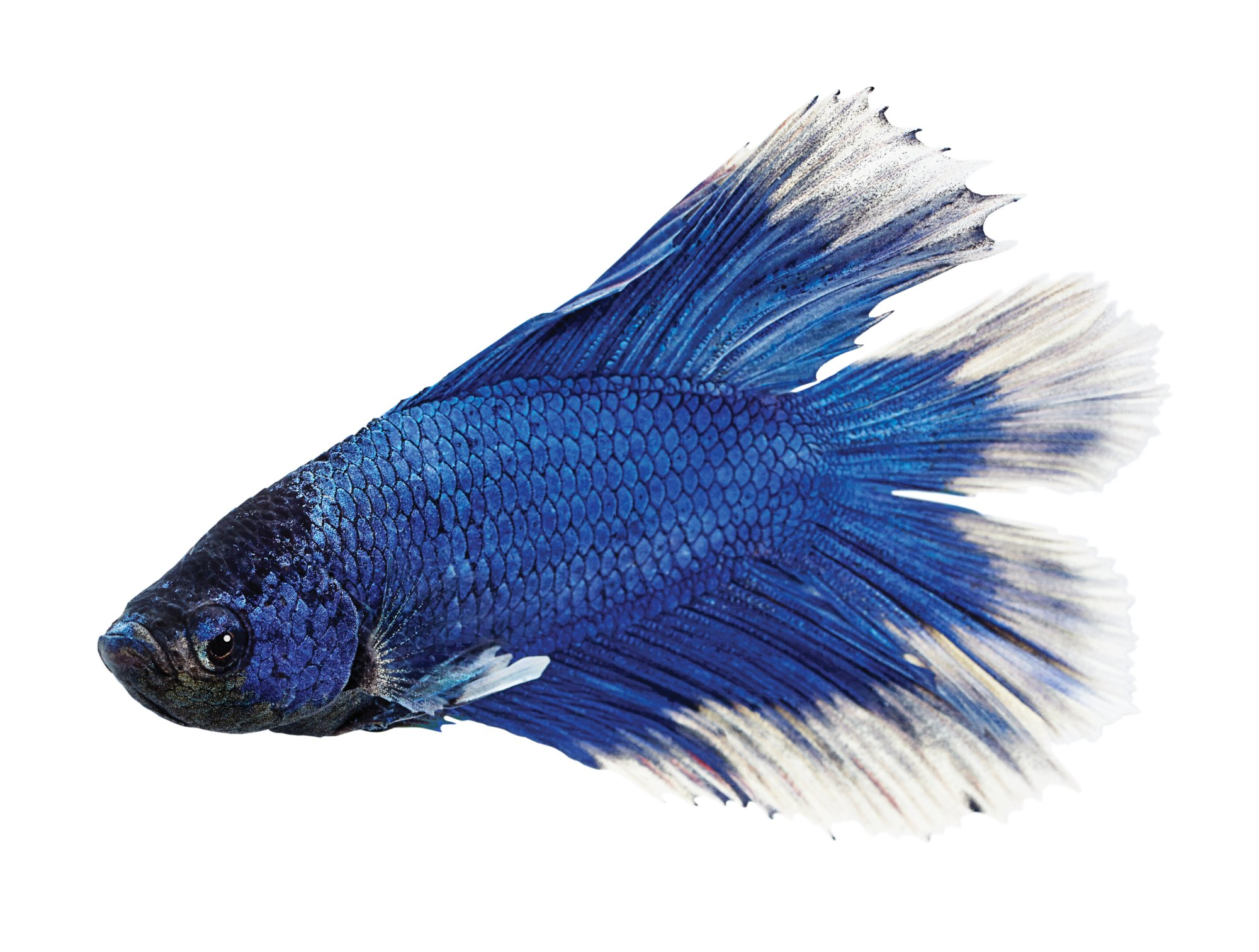 Male doubletail betta petco for Betta fish petco