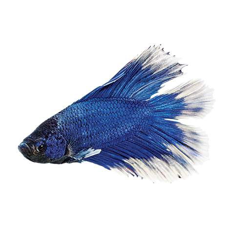Male doubletail betta petco for Types of betta fish petco