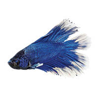 Betta fish buy live betta fish for sale petco for Betta fish petco