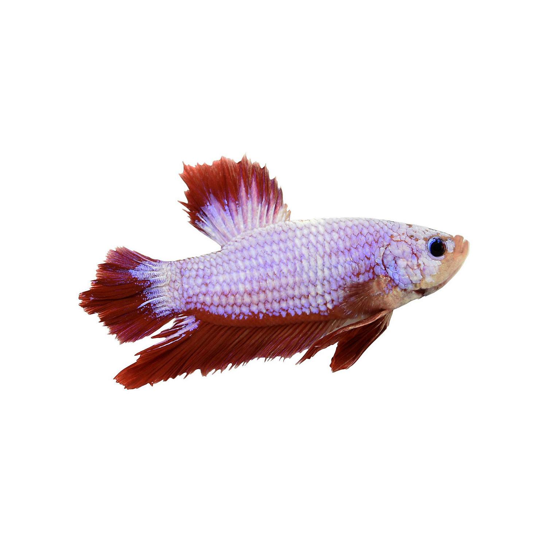 Male halfmoon king betta 1397532 fish for Petco betta fish price