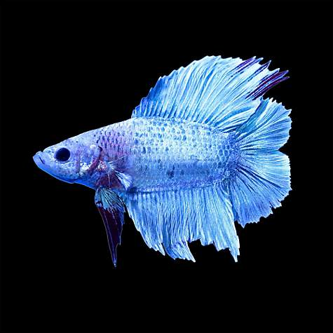 Male halfmoon doubletail plakat betta fish petco for How much are fish at petco