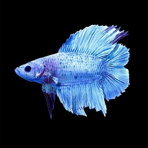 Male halfmoon doubletail plakat betta fish petco for Petco betta fish price