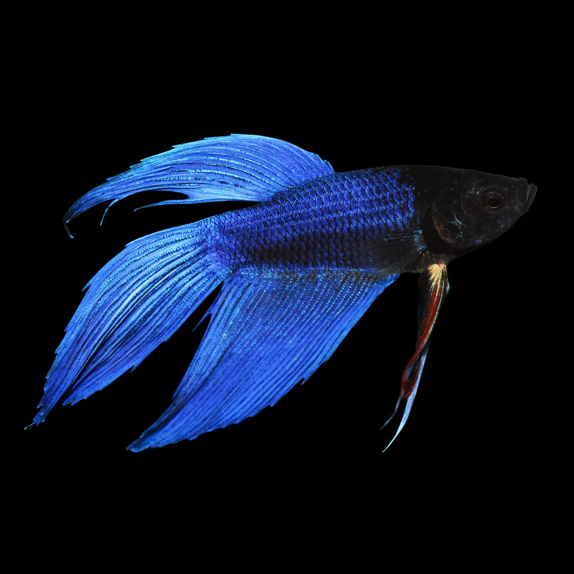 blue male veiltail betta petco