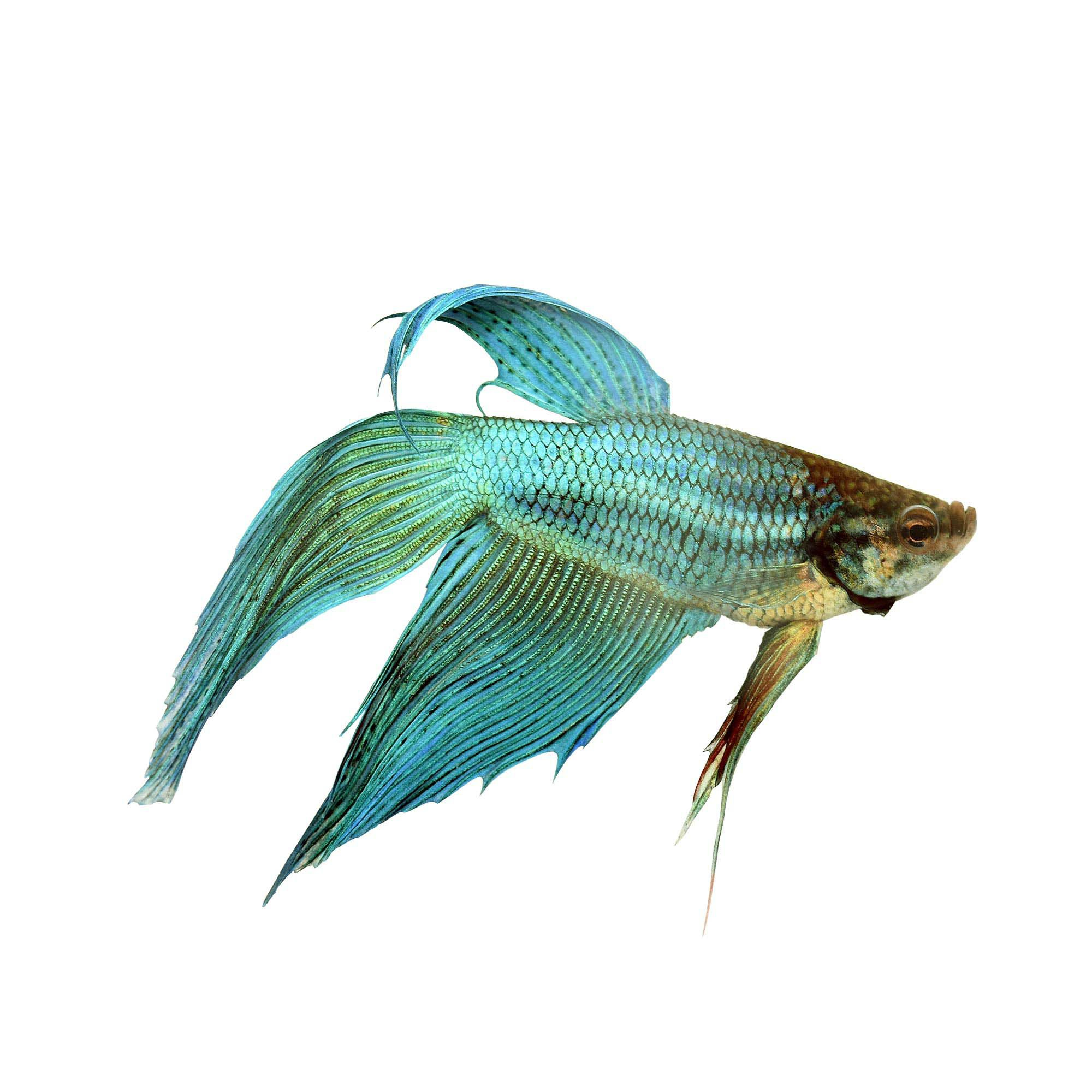 Green male veiltail betta petco for Healthy betta fish