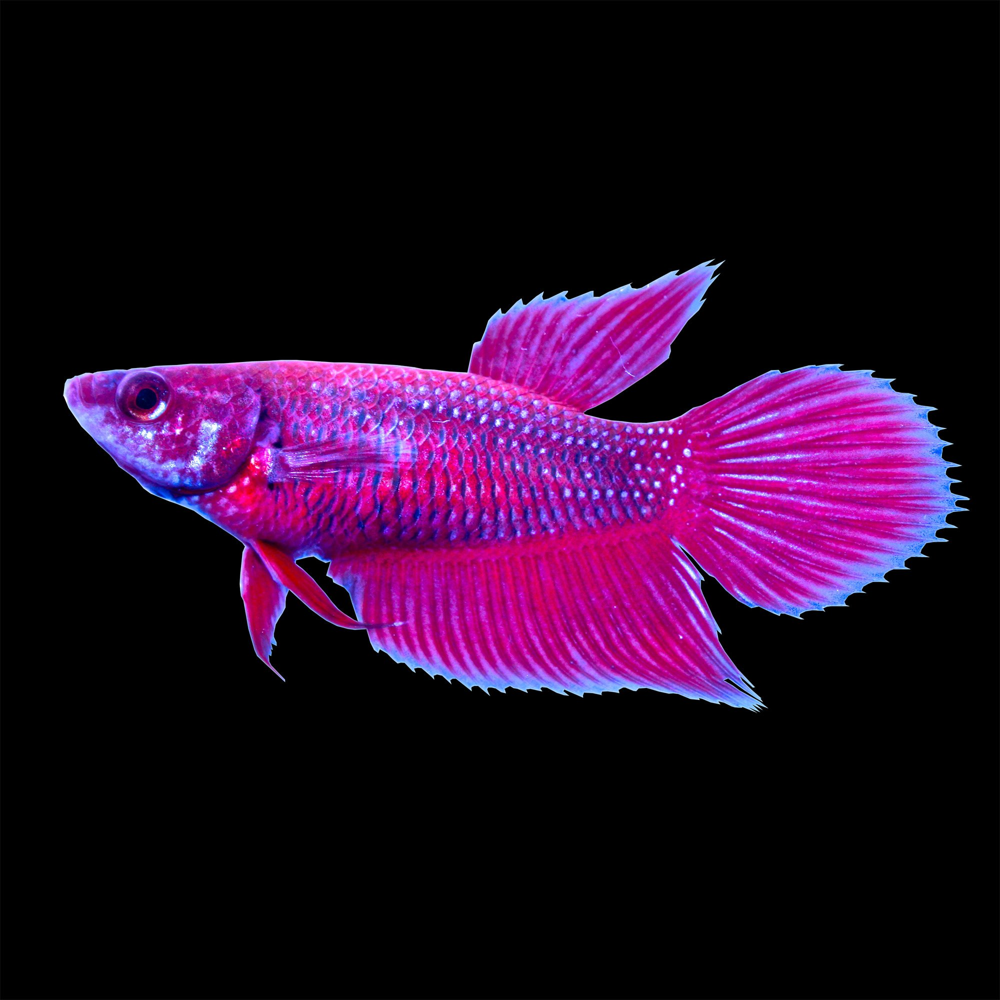 red female veiltail betta fish petco