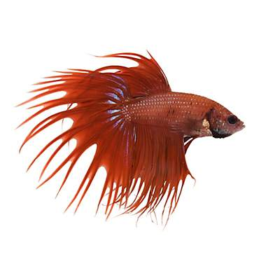 Red Male Crowntail Betta