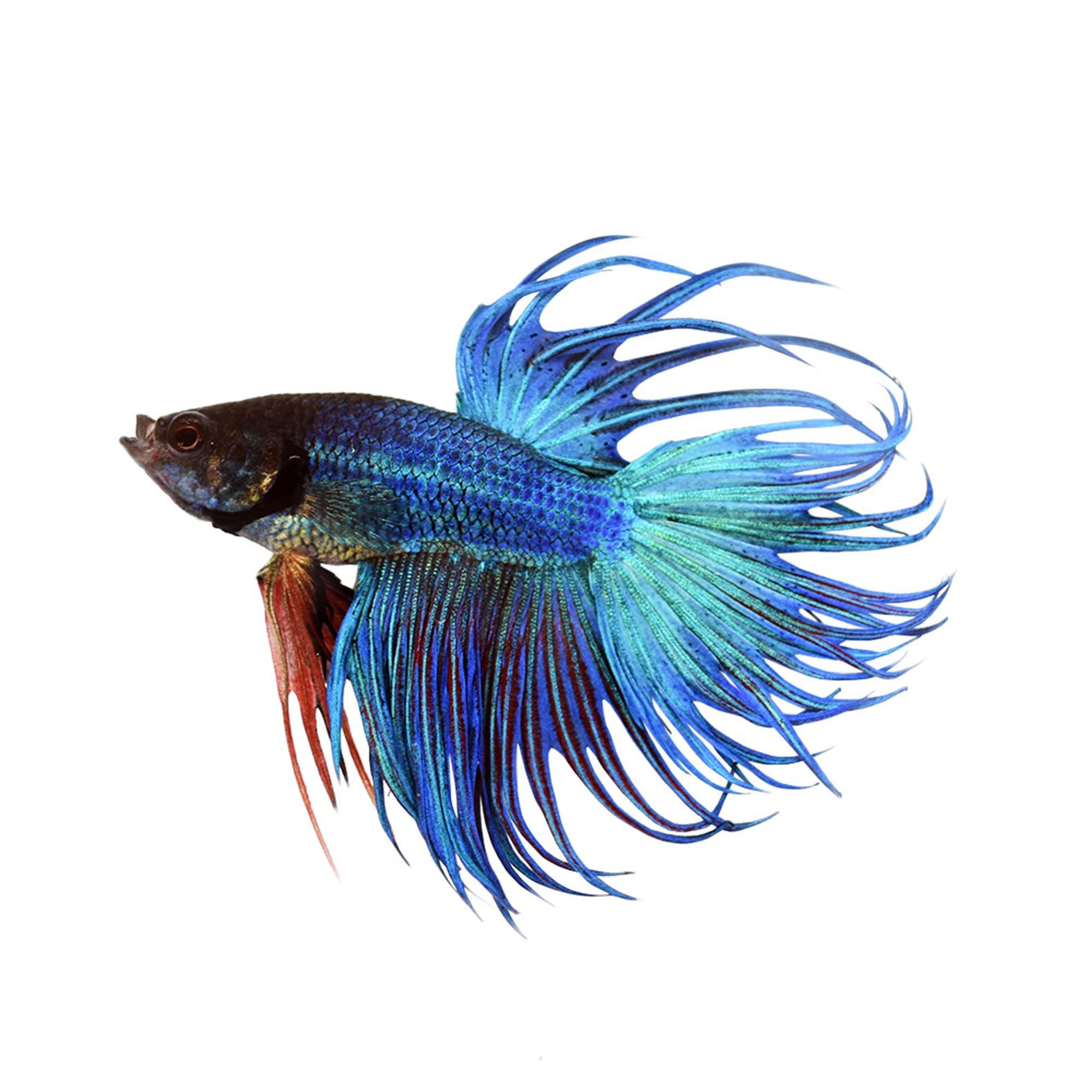Blue Male Crowntail Betta | Petco