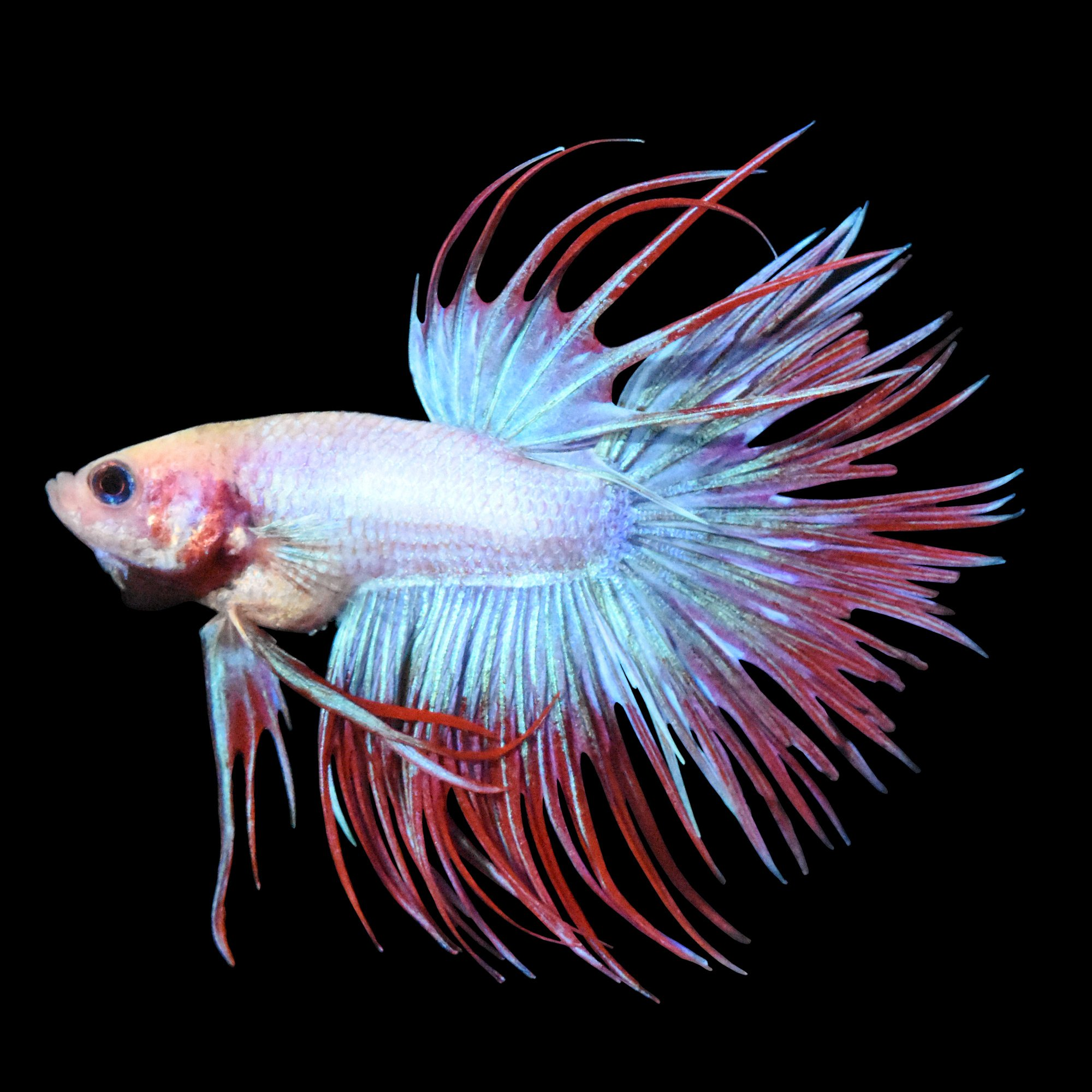 Male Cambodian Crowntail Betta Petco