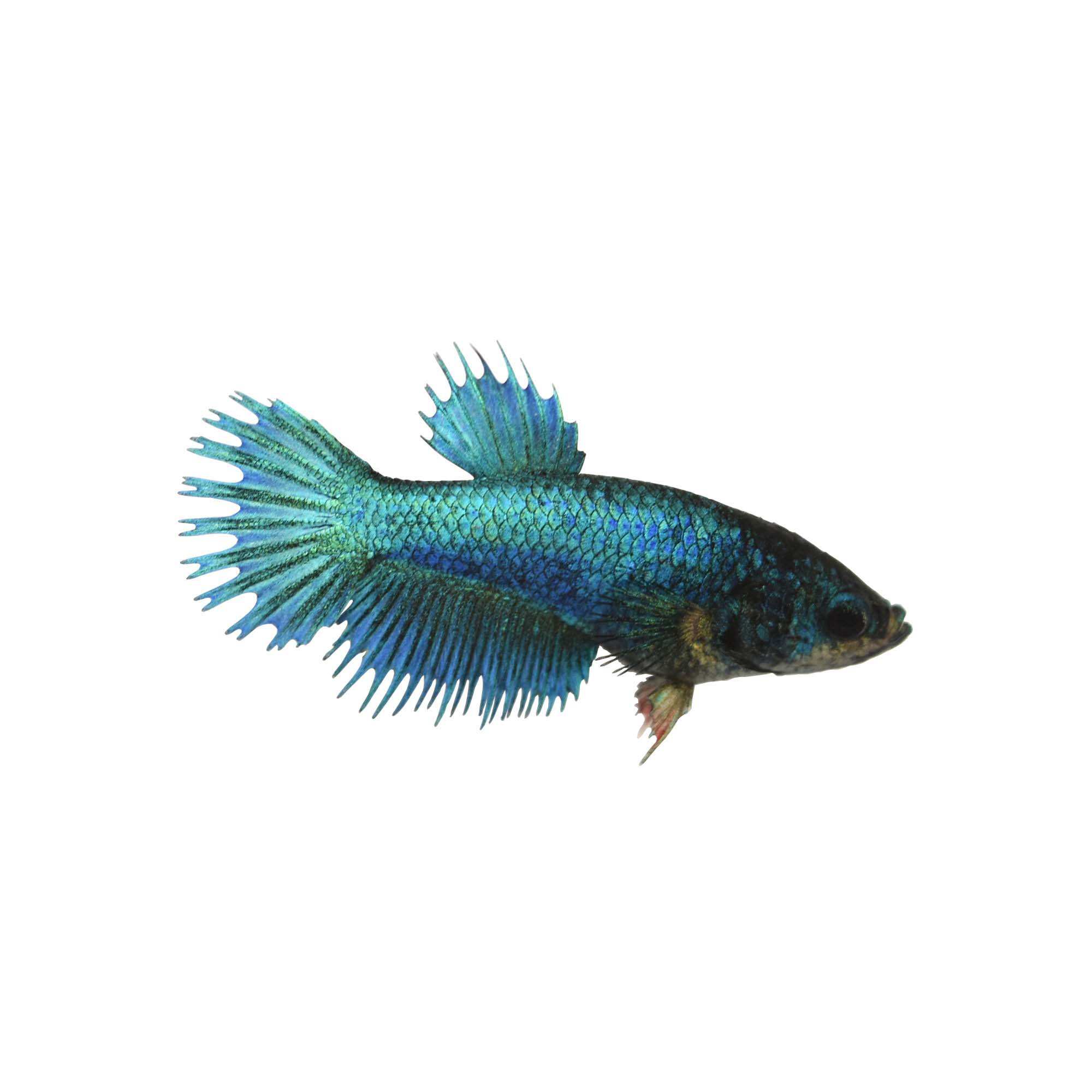 Blue Female Crowntail Betta Fish Petco