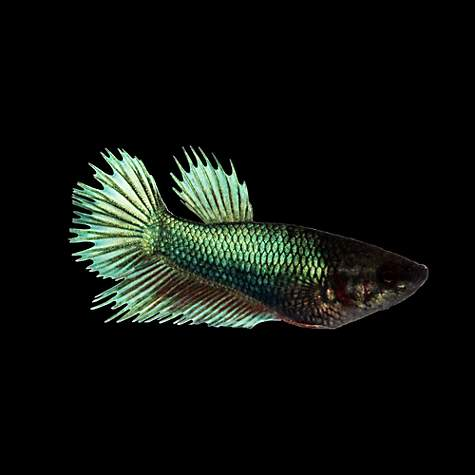 Green female crowntail betta fish petco for Freshwater fish petco