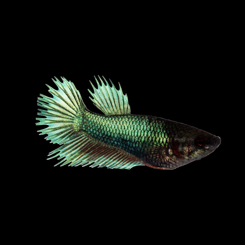 Fish - Live Fish preciouspetstores.com