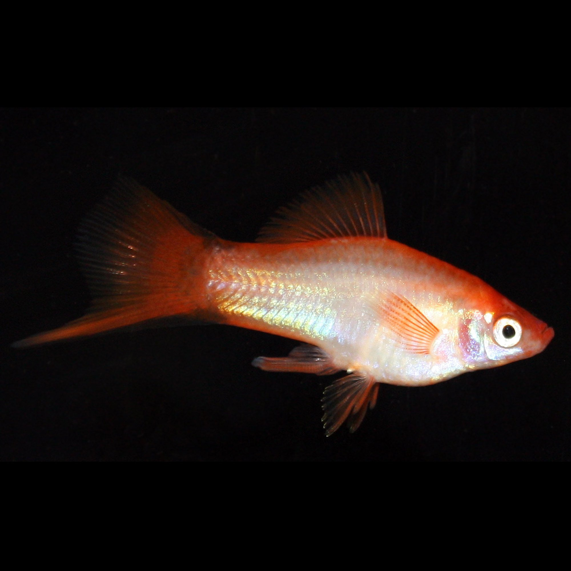 Twinbar solar flare swordtail petco for Petco live fish