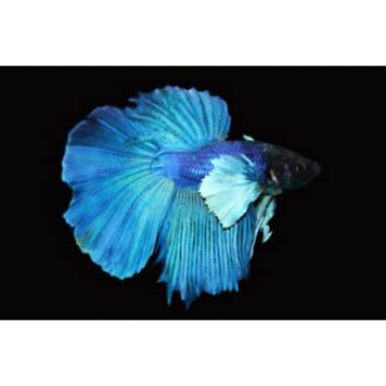 Elephant ear halfmoon betta fish petco for Types of betta fish petco