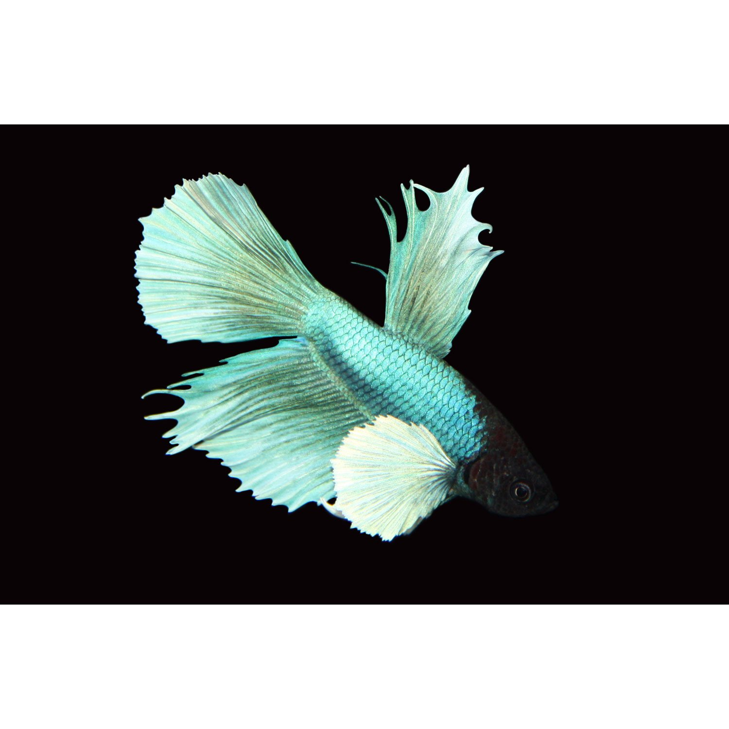 Elephant ear delta tail betta fish petco for Types of betta fish petco