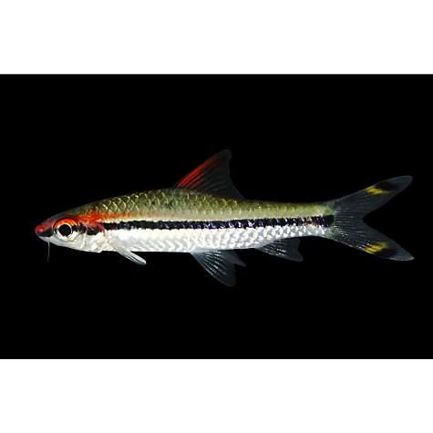 Roseline shark petco for Freshwater fish petco