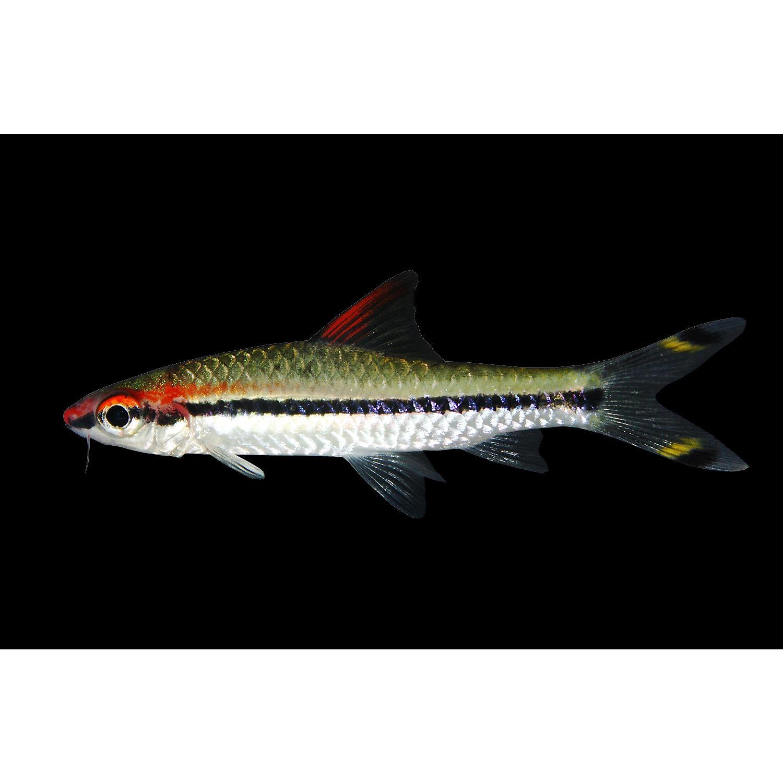 Roseline Shark Barbus Denisonii/ Puntius Denisonii Medium