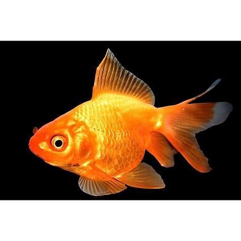Red Ryukin Goldfish, 2 5