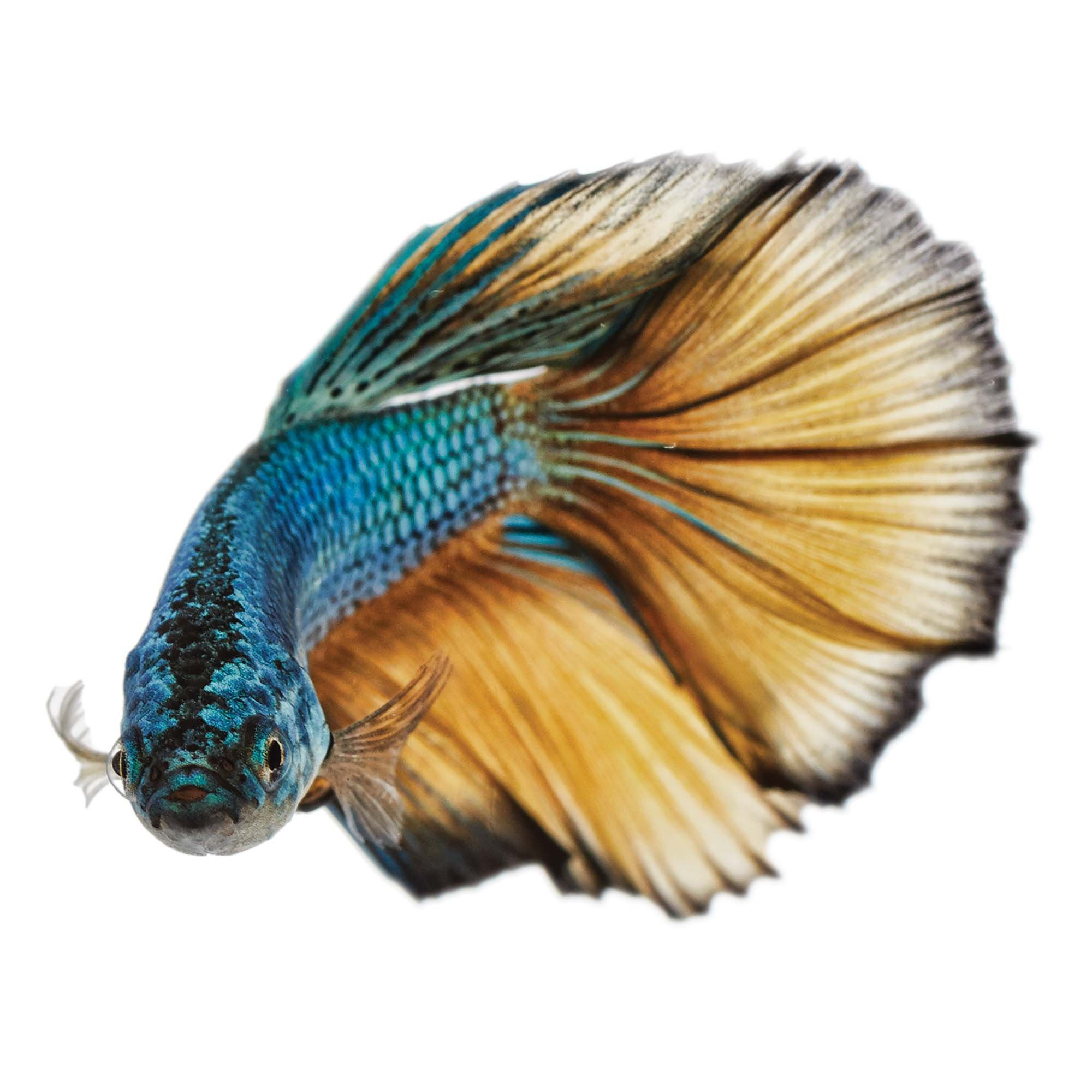 Paradise betta petco for Healthy betta fish