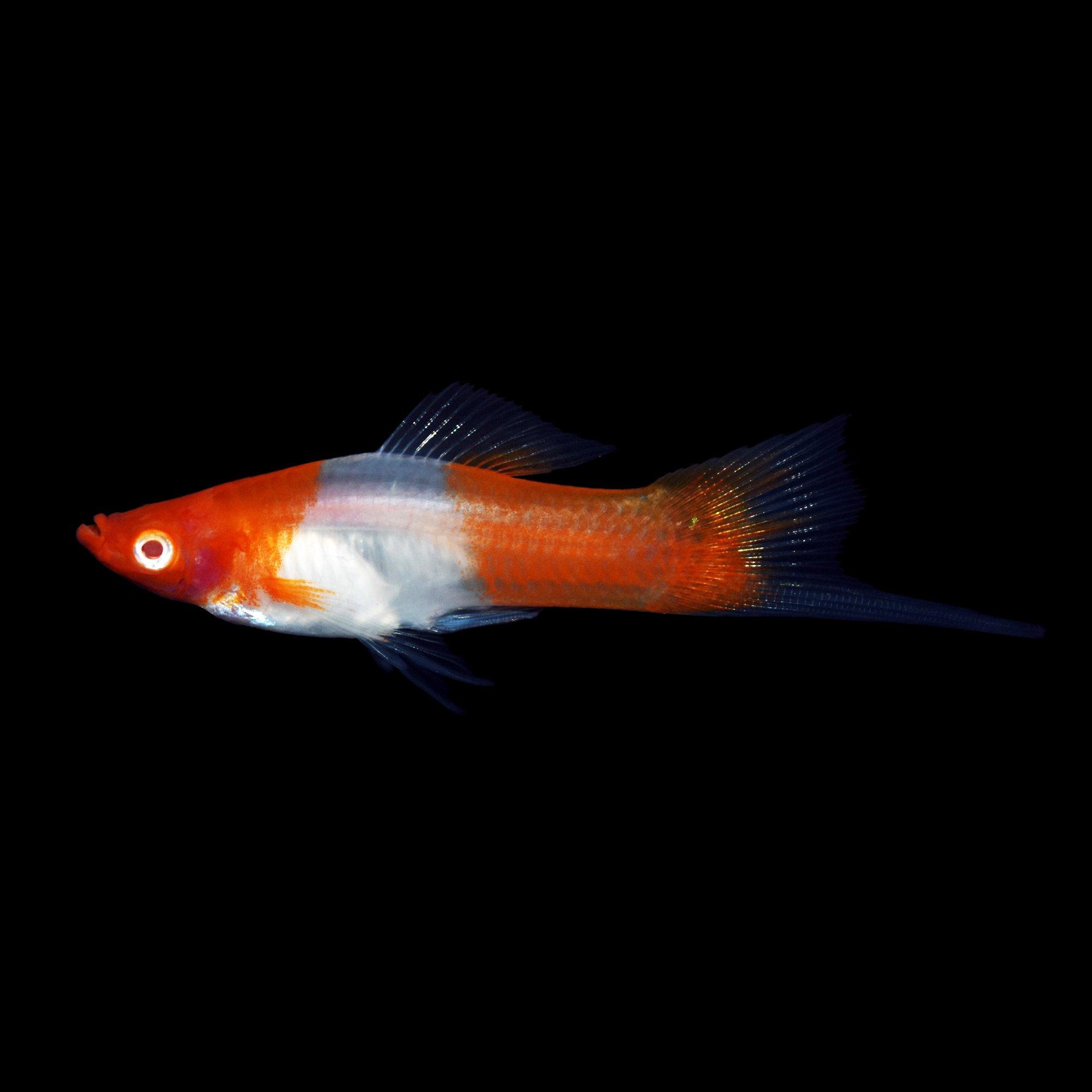 Kohaku swordtail petco for Petco fish for sale