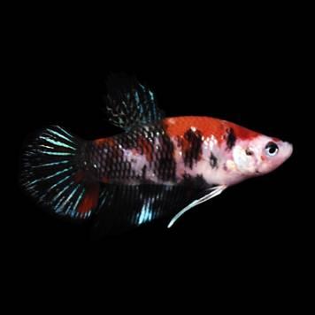 Koi betta petco for Freshwater fish petco