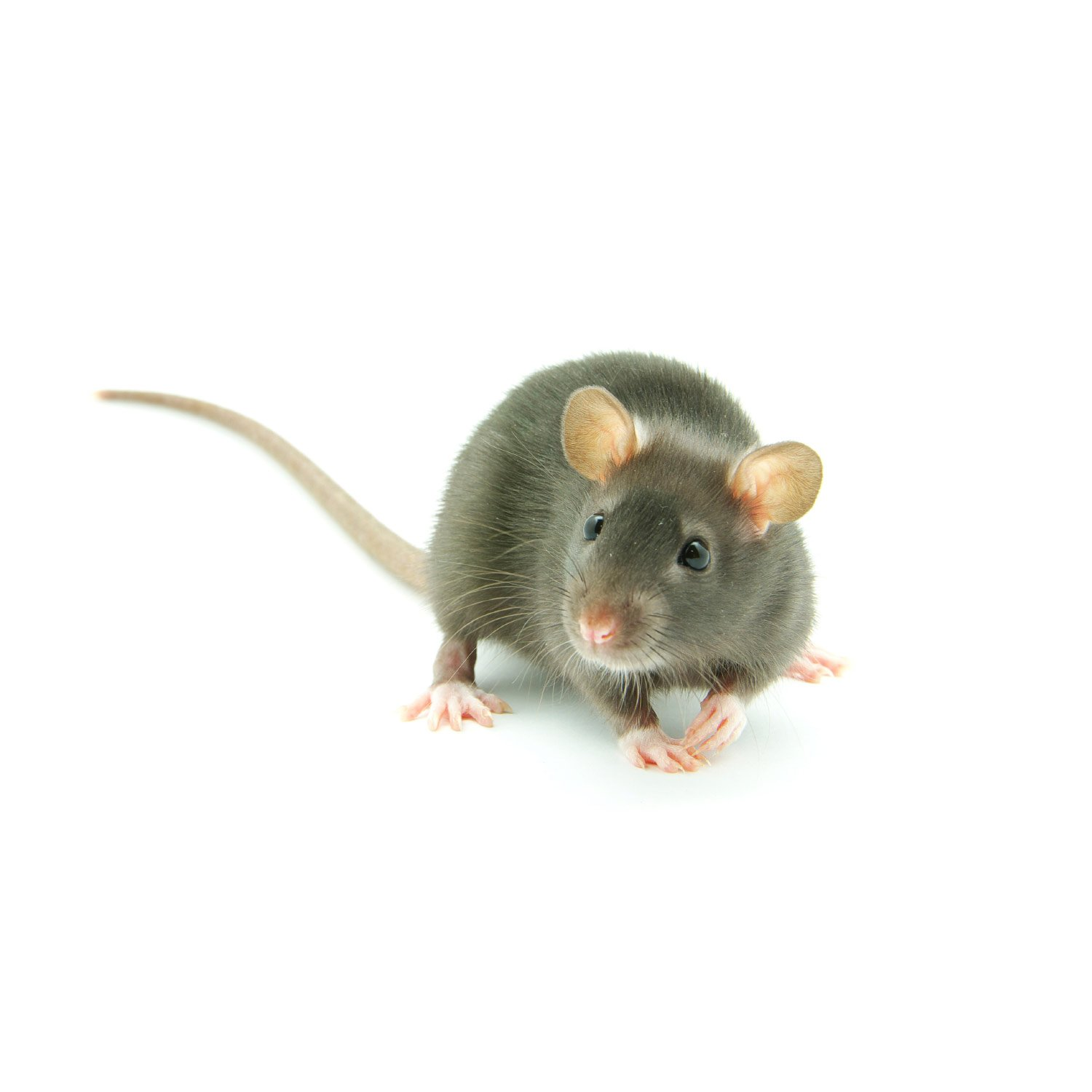 Rats for Sale | Live Pet Rats for Sale | Petco