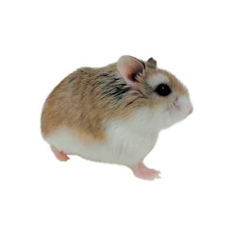 Roborovski Hamsters for Sale | Robo Dwarf Hamsters for Sale